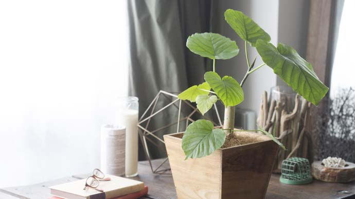 【植物ビギナーにおすすめ】ウンベラータの育て方