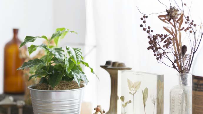 今がシーズンの観葉植物!【コーヒーの木の育て方】