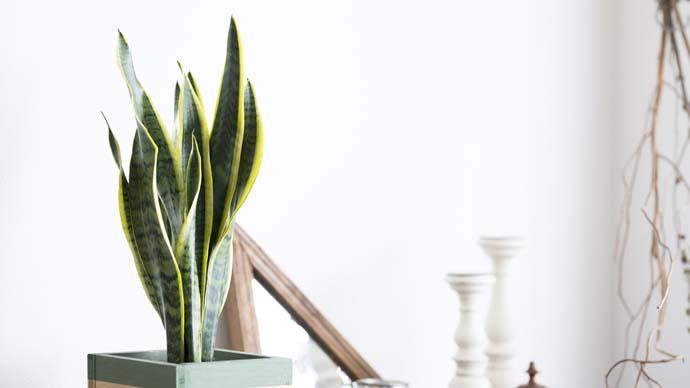 枯れにくい!ズボラさんにぴったりの植物|サンスベリアの育て方