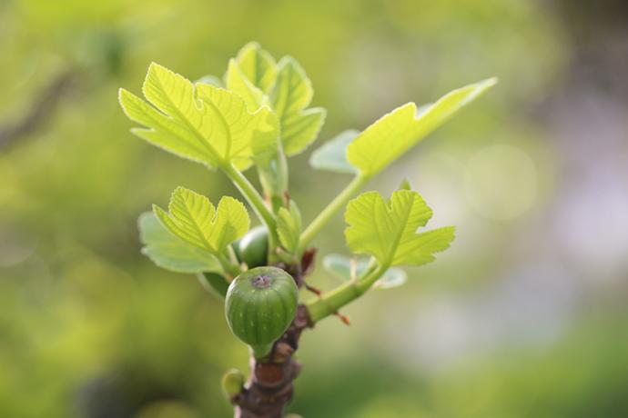 イチジク 育て方 鉢植え
